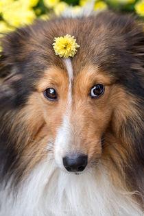 Cute Sheltie von photoart-mrs
