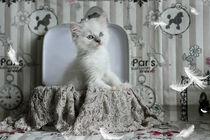 Staunendes Ragdoll Kitten von photoart-mrs