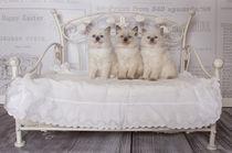 Zauberhafte Ragdoll Kitten von photoart-mrs
