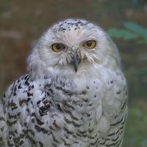 Schnee-Eule, Snowy Owl von Ralf Schröer