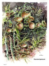 Psoroma hypnorum von Geoff Amos