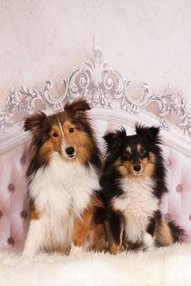 Pretty Sheltie Couple von photoart-mrs