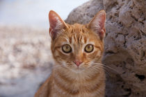 Ginger tabby cat by Jessy Libik