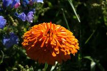 Orange Ringelblume by Björn Knauf