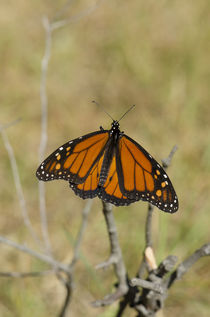 Monarch butterfly, Danaus plexippus,  von Perry  van Munster