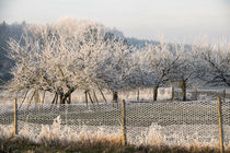 Rime -  Orchard in hoarfrost by Chris Berger