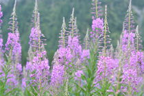 fireweed in  von Henk Bouwers
