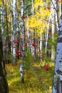 Fall. Forest. Rowan. von mnwind