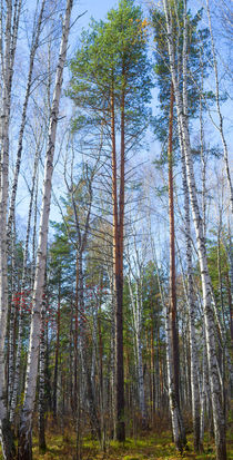 Tall pine by mnwind