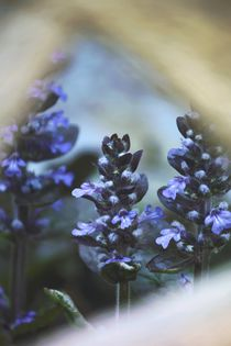 Ajuga reptans von Photo-Art Gabi Lahl