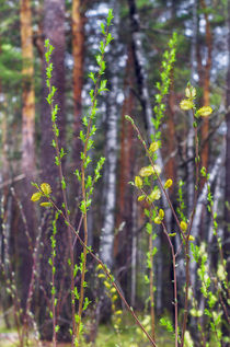 Spring. Forest. Leaves by mnwind