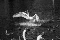Landing swan by Jessy Libik