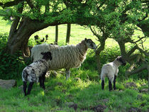 Ewe and Lambs in the Shade von Rod Johnson