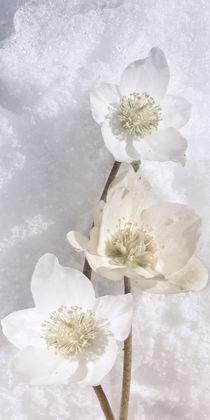 Helleborus niger - Christrose im Schnee von Chris Berger
