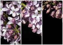 Lilac Bouquet Triptych One von John Williams