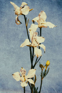 White Delphinium of Remembrance Poster Print by John Williams