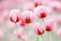 Fünf Mohnblüten by moqui