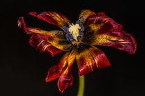Tulpe von Christian Schäfer