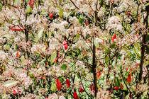 Blütenstrauch und Weihnachtsstern von Hartmut Binder