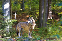 Herbst Wolf  by Borg Enders