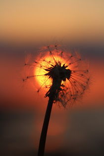 Pusteblume in der Abendsonne  /  Pusteblume in the evening sun von Simone Marsig