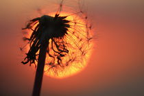 Pusteblume in der Abendsonne  /  Pusteblume in the evening sun by Simone Marsig
