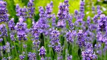 Lavendel by naturbilder