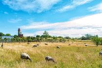 Schafe am Kap Arkona by mnfotografie