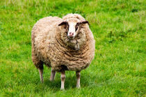Schaf auf der Weide von mnfotografie