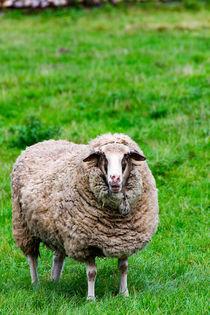 Schaf auf der Wiese by mnfotografie