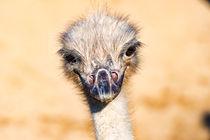 Portrait afrikanischer Vogel Strauß by mnfotografie