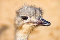 Afrikanischer Vogel Strauß im Profil by mnfotografie