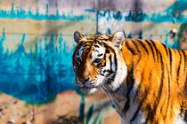 der asiatische Tiger by mnfotografie