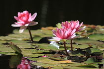 Waterlilies - Seerosen