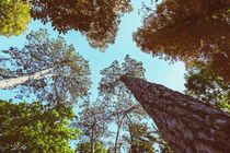 Forest Trees On Blue Sky Background von Radu Bercan