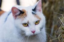 Tricolour Katze von mnfotografie