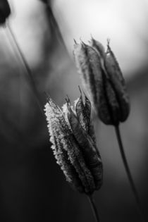 Winter Seed by fotograf