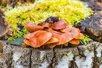 Pilze an einem Baumstamm by mnfotografie