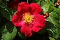 Rote Rose mit 5 Blütenblättern von Sabine Radtke