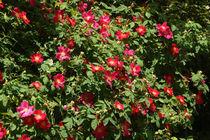 Rosenbusch, rosebush von Sabine Radtke