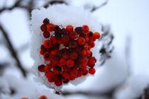 Schneeummantelte Vogelbeeren von Simone Marsig