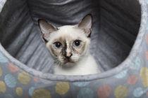 Thai Kitten / 4 by Heidi Bollich