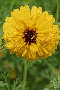 Dahlia bouquet in spring von alphashooter