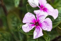 Rosafarbene Catharanthe  - Catharanthus roseus - Madagaskar von Dieter  Meyer