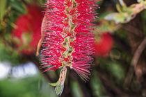 Zylinderputzer - Callistemon rugulosus - Australien by Dieter  Meyer