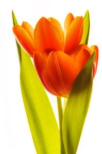 Tulpenglühen by Andreas Hoops