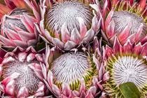 Koenigs Protea, Protea cynaroides, Südafrika by Dieter  Meyer