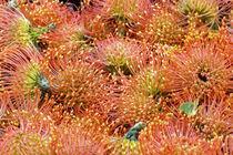 Nadelkissen Proteas orange, Leucospermum cordifolium, Südafrika von Dieter  Meyer