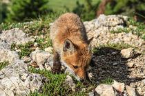 Red Fox baby von Antonio Scarpi