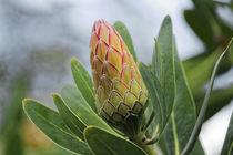 Protea Susara - Südafrika by Dieter  Meyer
